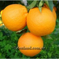 Апельсин Вашингтон  Навел - Citrus Sinensis Washington Navel