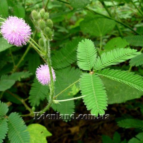 Живые цветы мимоза купить одесса
