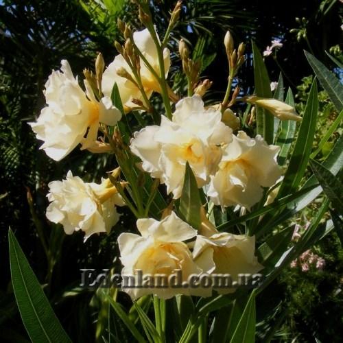 Олеандр - растение Перегной из Листьев
