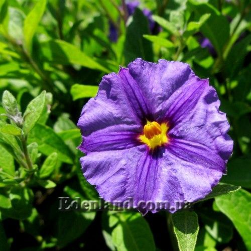 Цветы семейства пасленовых фото