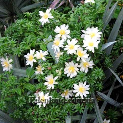 Переския шиповатая - семена