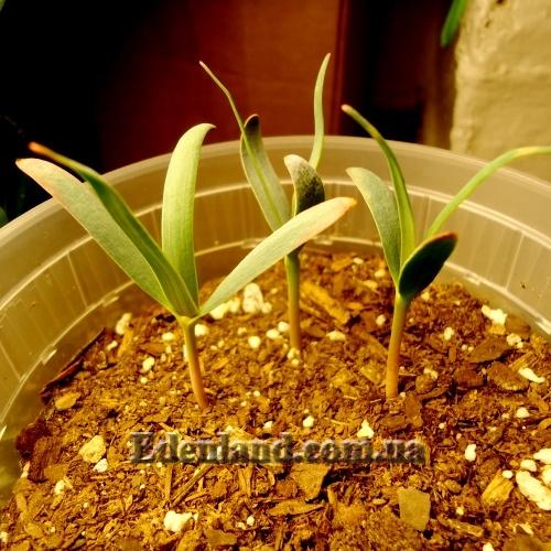 Кактусы  размножение семенами всходы первый год жизни